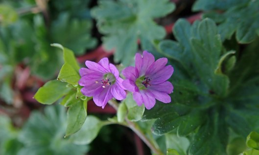 210404 Round-leaved crane's-bill