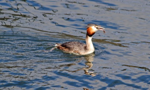 210405 grebe and perch (4)