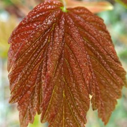 210406 field maple leaf burst (4)