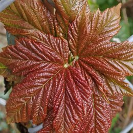 210406 field maple leaf burst (5)