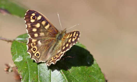 210410 speckled wood