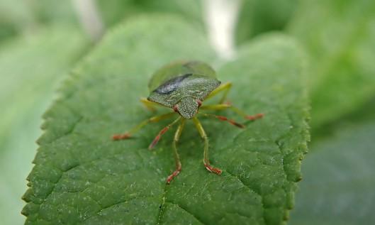 210413 green shieldbug