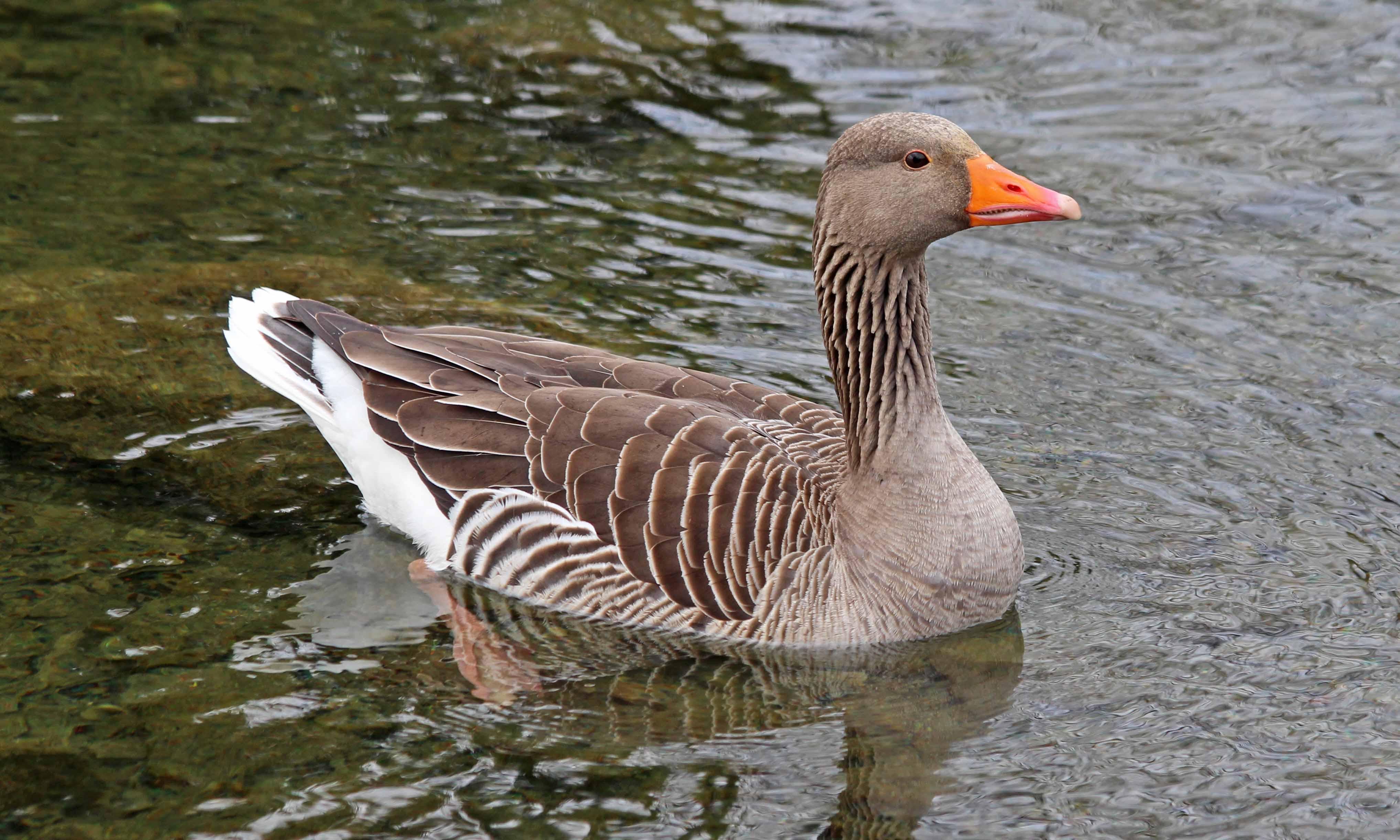 210415 greylag geese (1)