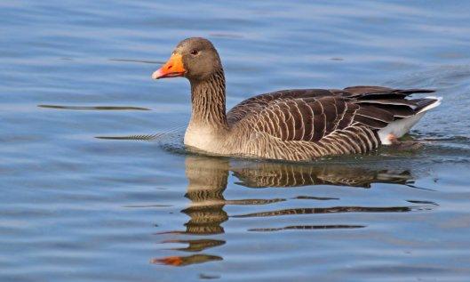 210415 greylag geese (2)