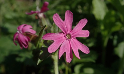 210416 red campion