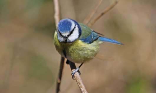 210419 blue tit (1)