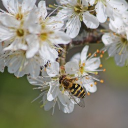 210420 2 hoverfly