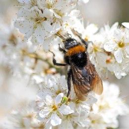 210420 7 bumblebee
