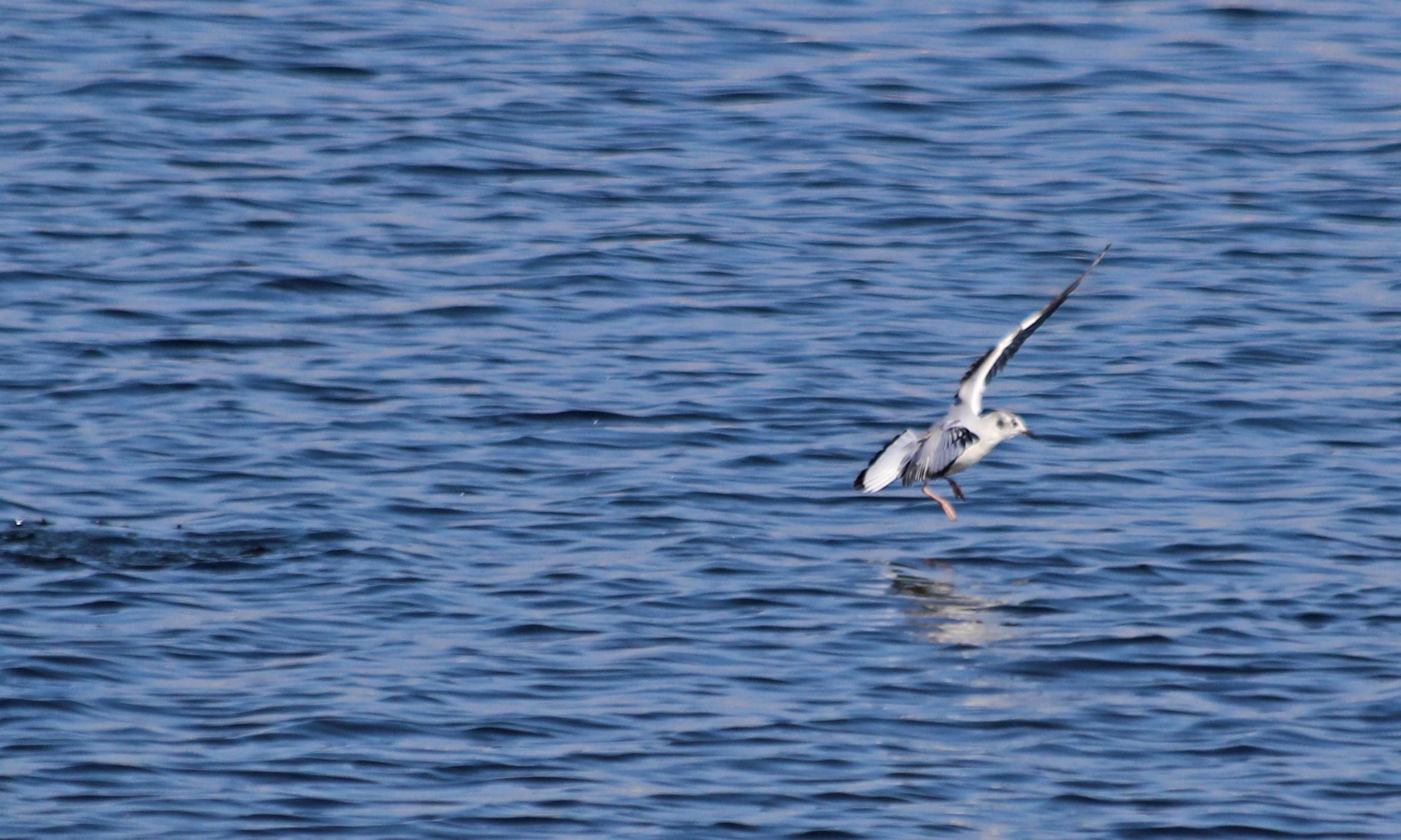 210420 bonapartes gull (1)