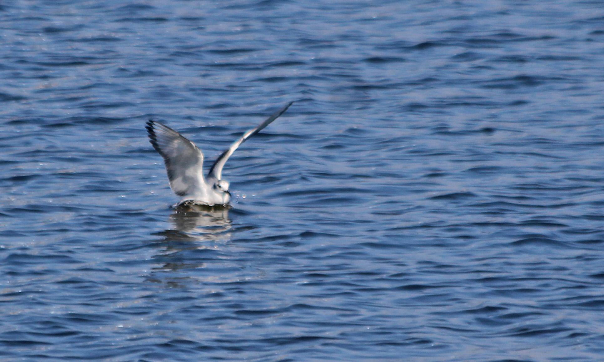 210420 bonapartes gull (2)