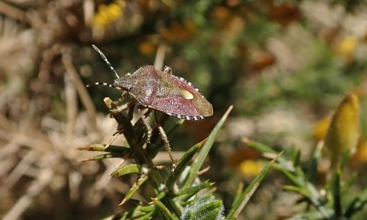 210422 hairy shieldbug (2)