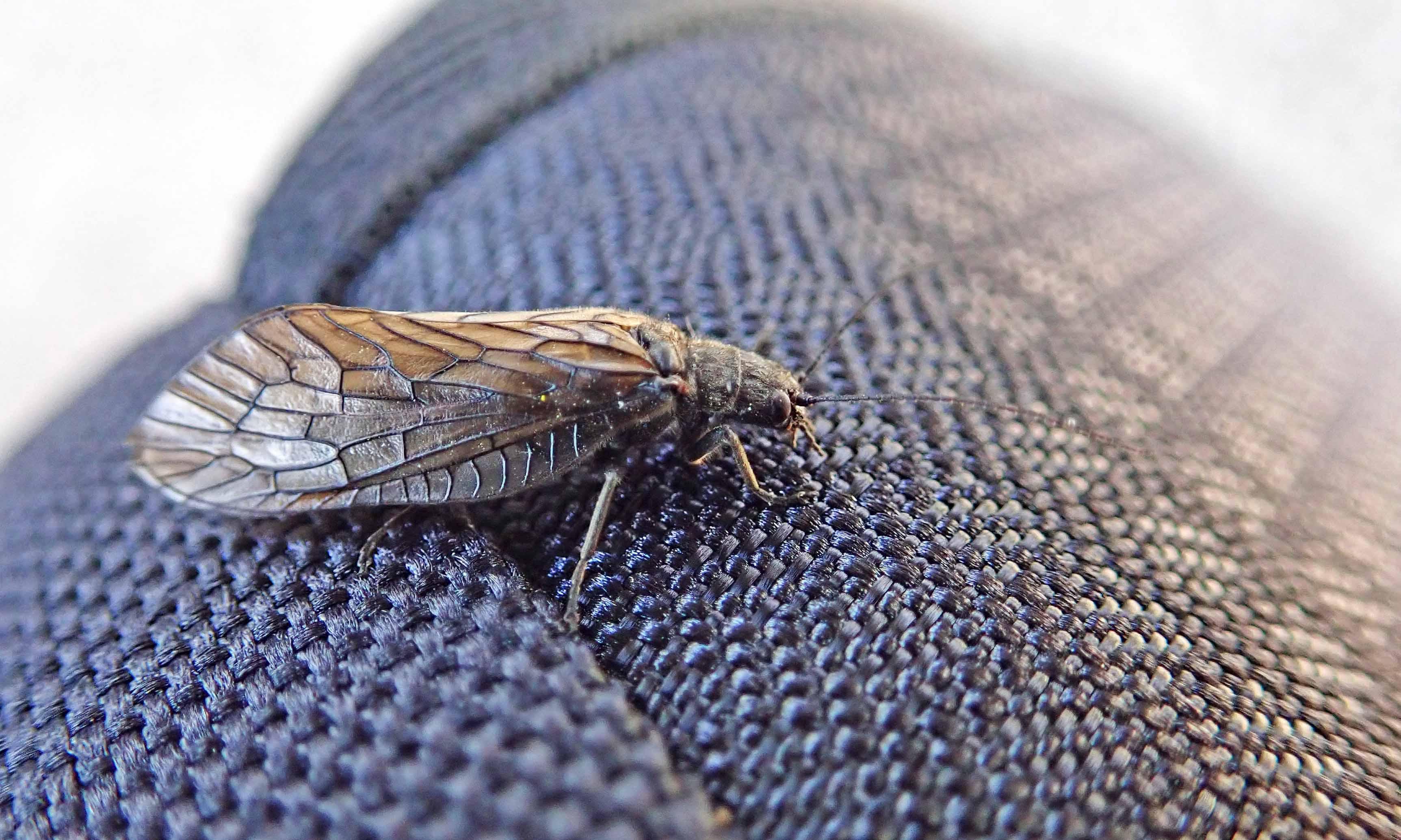 210426 caddisfly (1)