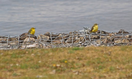 210505 yellow wagtails (1)