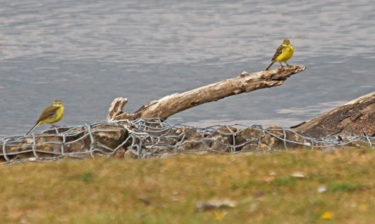 210505 yellow wagtails (2)