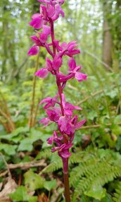210507 early purple orchids (3)