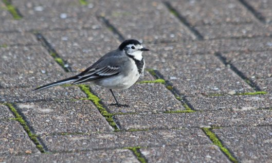 210508 pied wagtail (2)