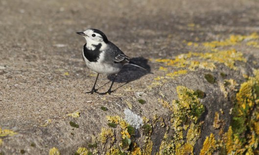 210508 pied wagtail (3)