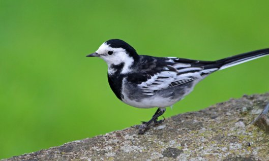 210508 pied wagtail (4)