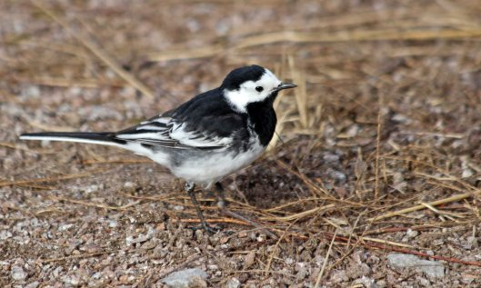210508 pied wagtail (5)