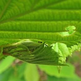 210515 winter moth (3)