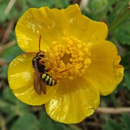 210518 buttercup bee nomada