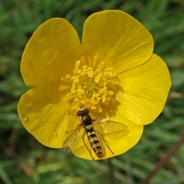 210518 buttercup hoverfly (1)