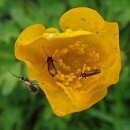 210518 buttercup moths