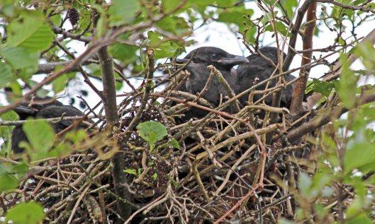 210520 juvenile crows (1)