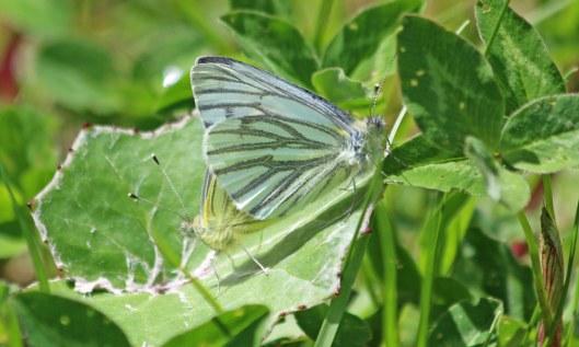 210524 green-veined whites