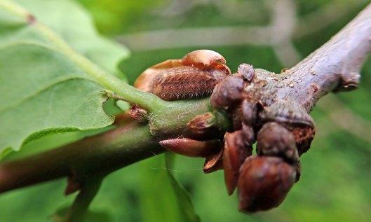 210526 purple hairstreak larva
