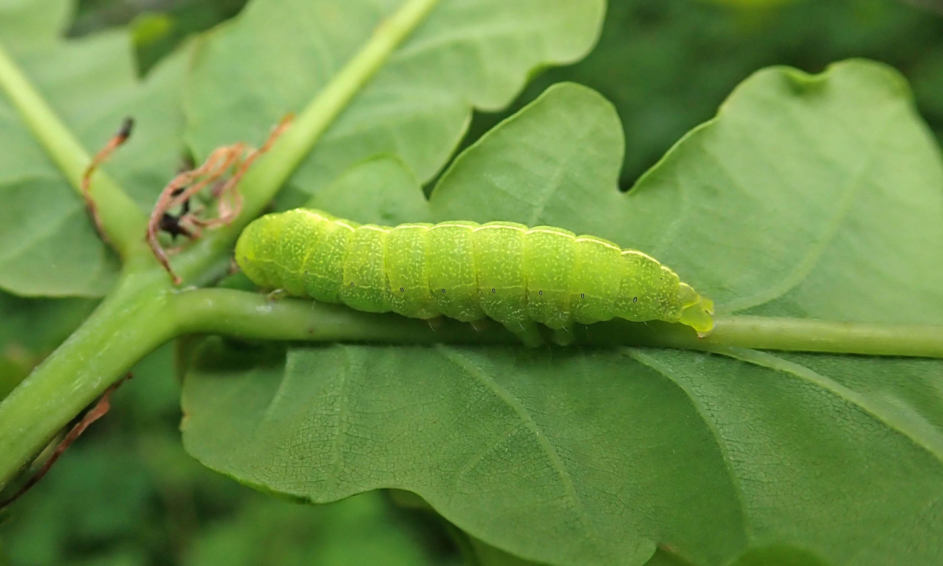 210527 brindled green larva