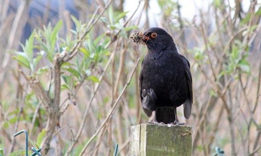210528 blackbird