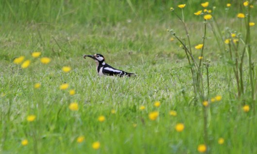 210528 great spotted woodpecker