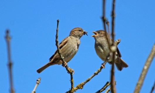 210528 house sparrow