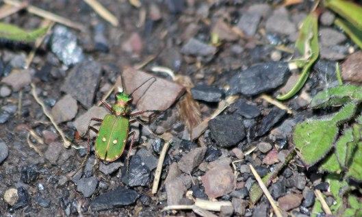 210531 green tiger beetle