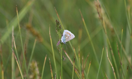 210602 roosting common blues (1)