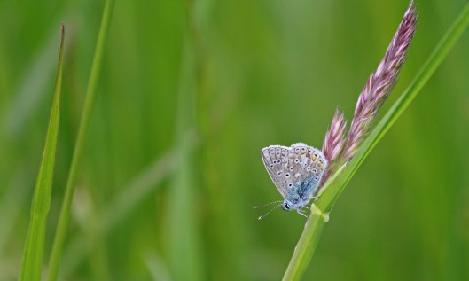 210602 roosting common blues (2)