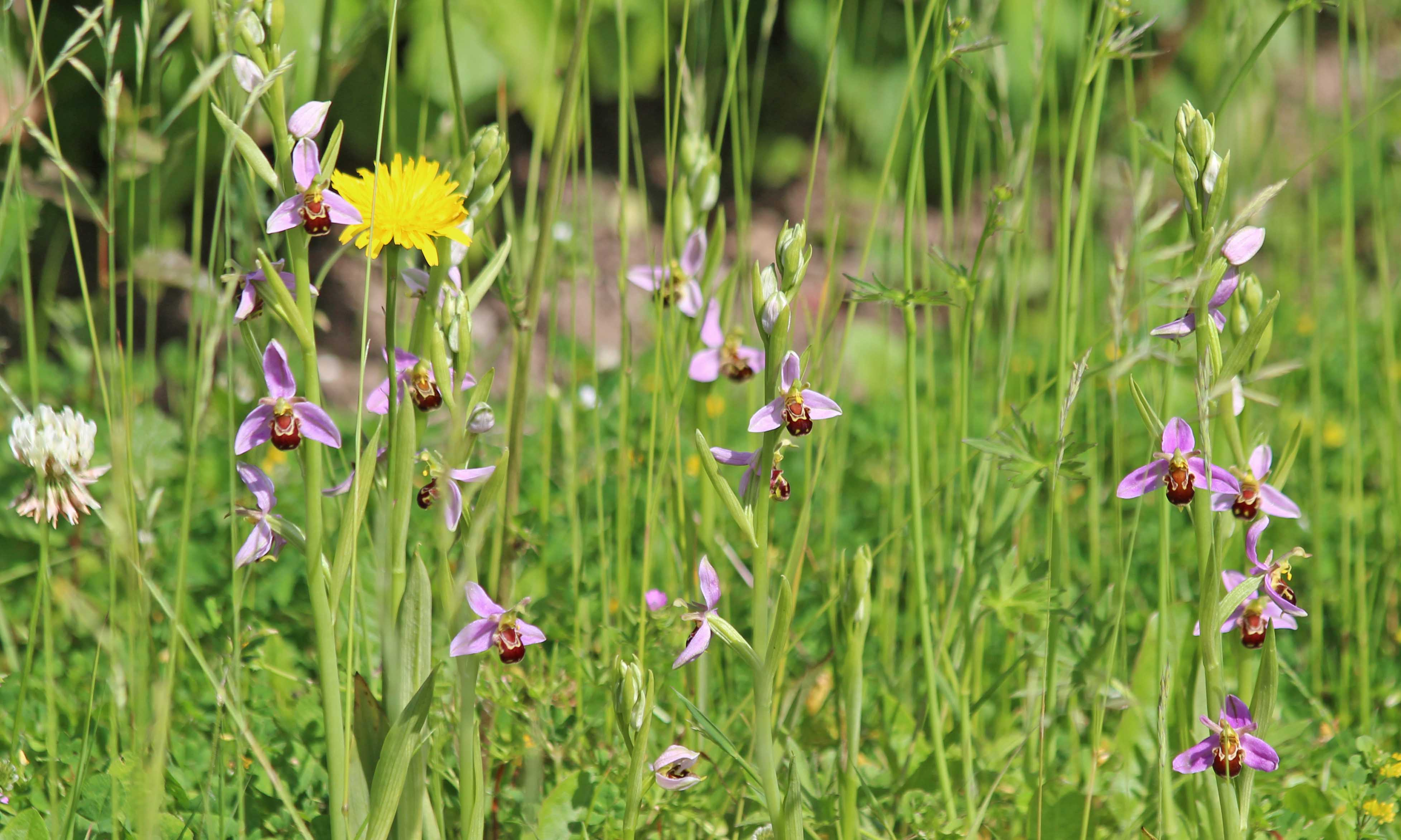 210606 bee orchids (1)