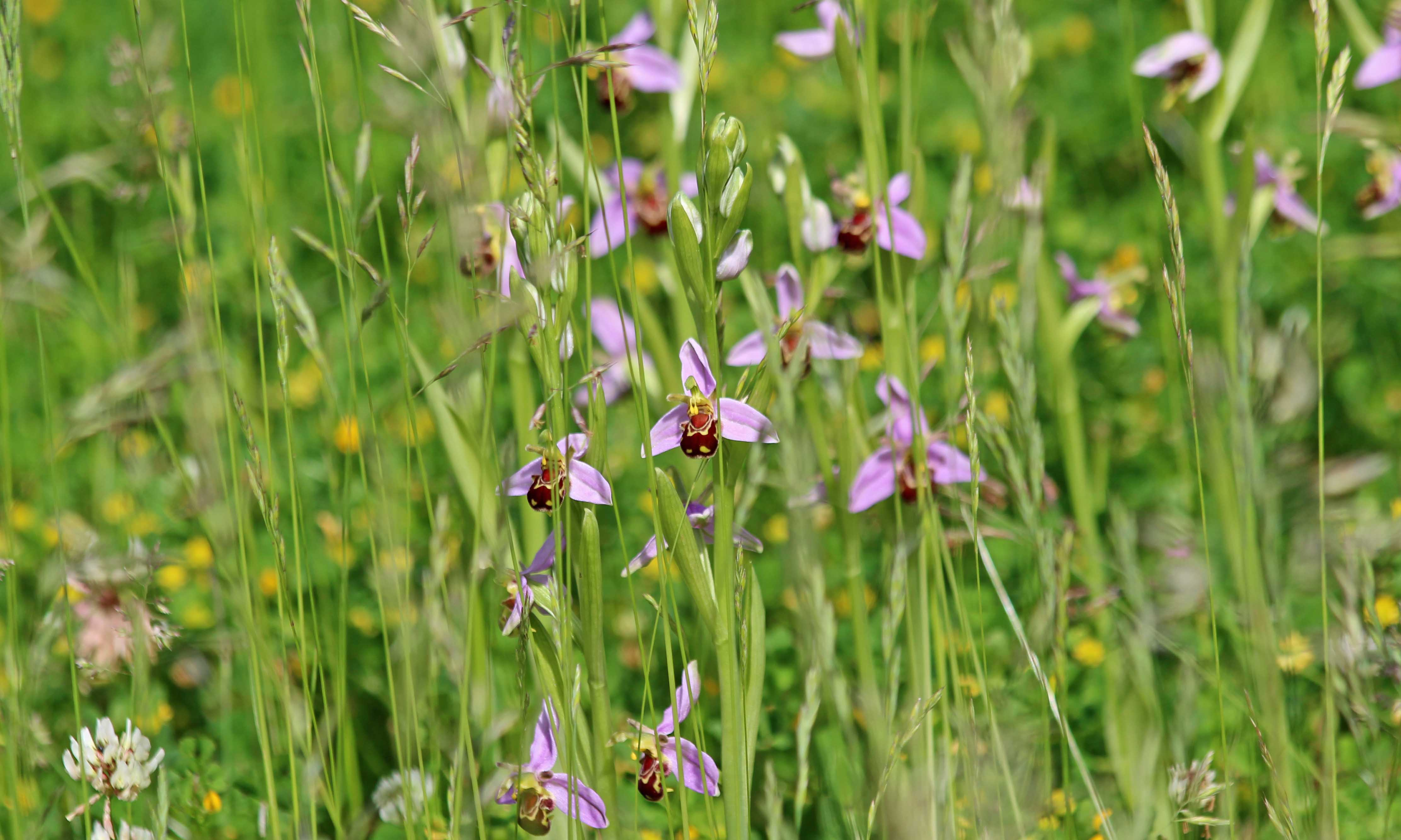 210606 bee orchids (3)
