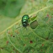 210611 dock beetle