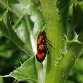 210611 Red-and-black froghopper