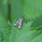 210611 scorpion fly