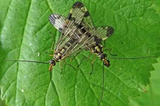 210612 scorpion flies