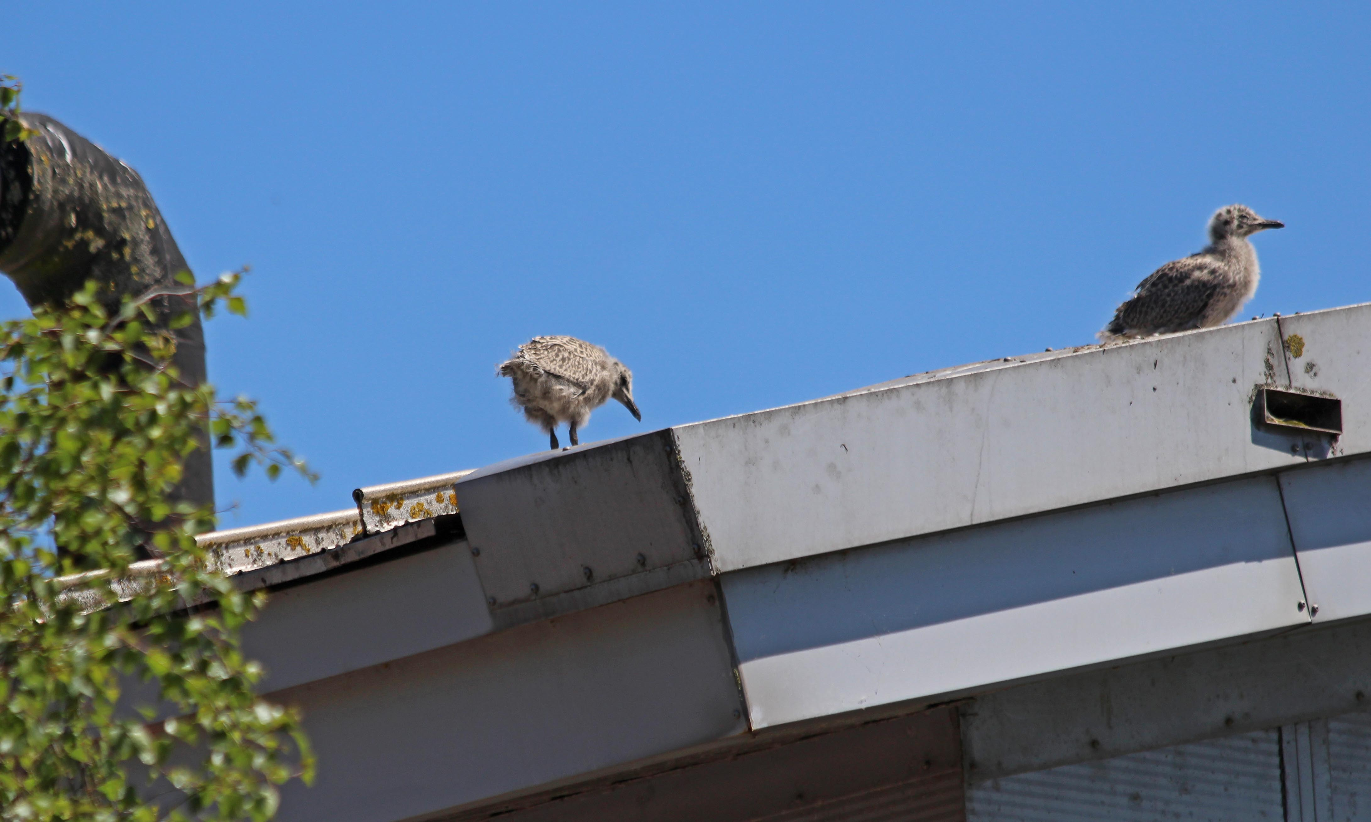 210615 urban gull chicks (3)
