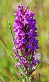 210616 southern marsh-orchid (4)