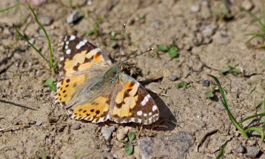 210617 painted lady (1)