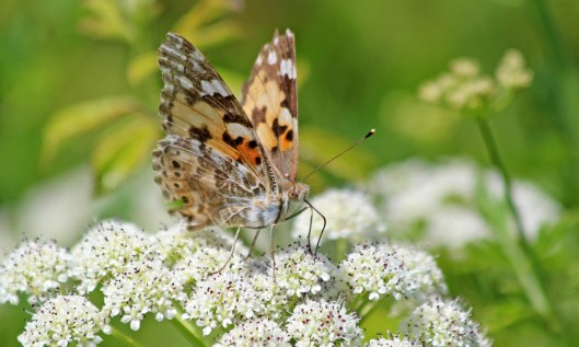 210617 painted lady (2)