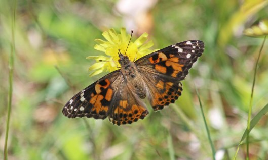 210617 painted lady (3)
