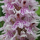 210625 common spotted-orchid (1)