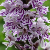 210625 common spotted-orchid (3)